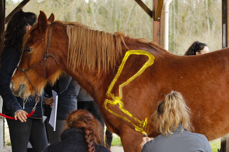 Cours-ISEMA-centre-équestre-peinture-chevaux-anatomie